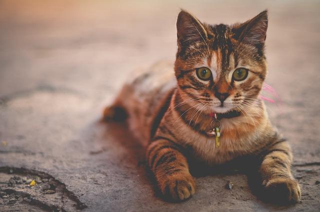 mourovatá kočka s obojkem